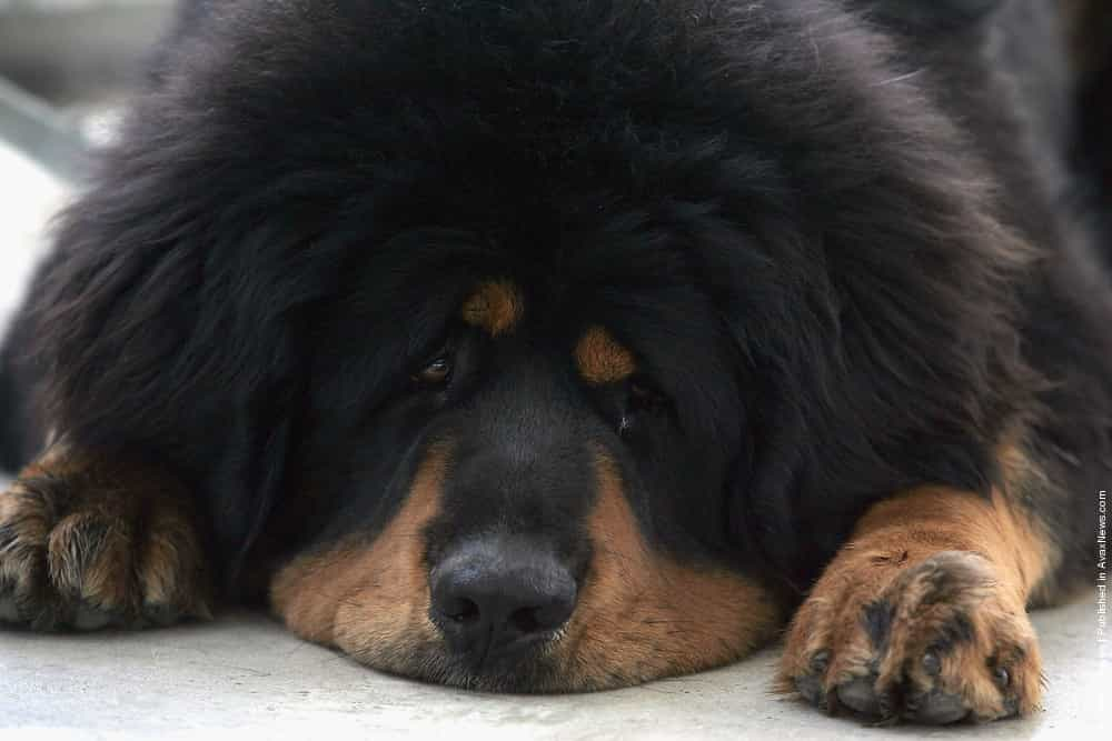 Common Diseases in Tibetan Mastiff